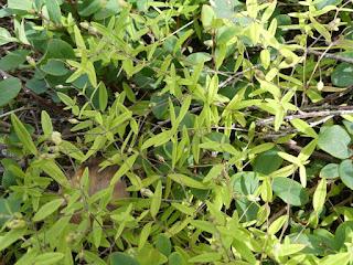 Sabline latériflore - Moehringia lateriflora