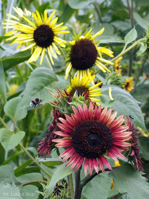kwiaty słoneczników
