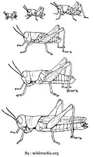 Metamorfosis Pada Belalang