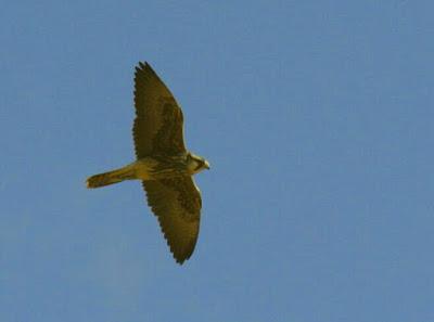 Halcón borní (Falco biarmicus)