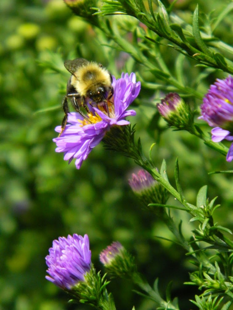 New England aster Symphyotrichum novae-angliae by garden muses not another Toronto gardening blog