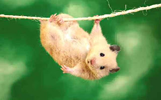 Mouse hanging from rope string.