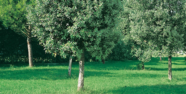 alberi-da-giardino-sempreverdi-a-crescita-rapida