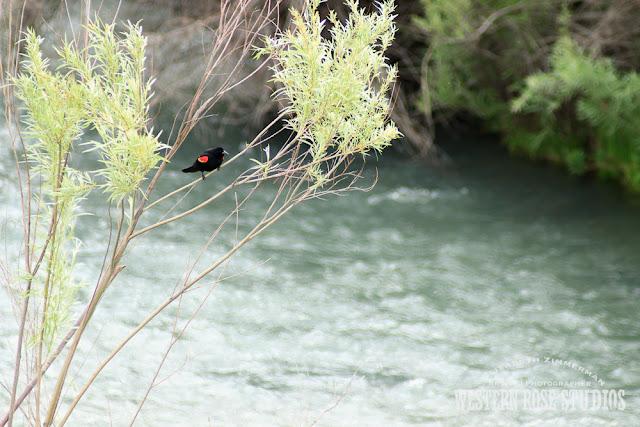 Redwinged Blackbird | WesternRoseStudios © Elizabeth Zimmerman