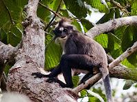 Lutung Dahi Putih, Monyet Cantik Endemik Kalimantan yang Semakin Langka