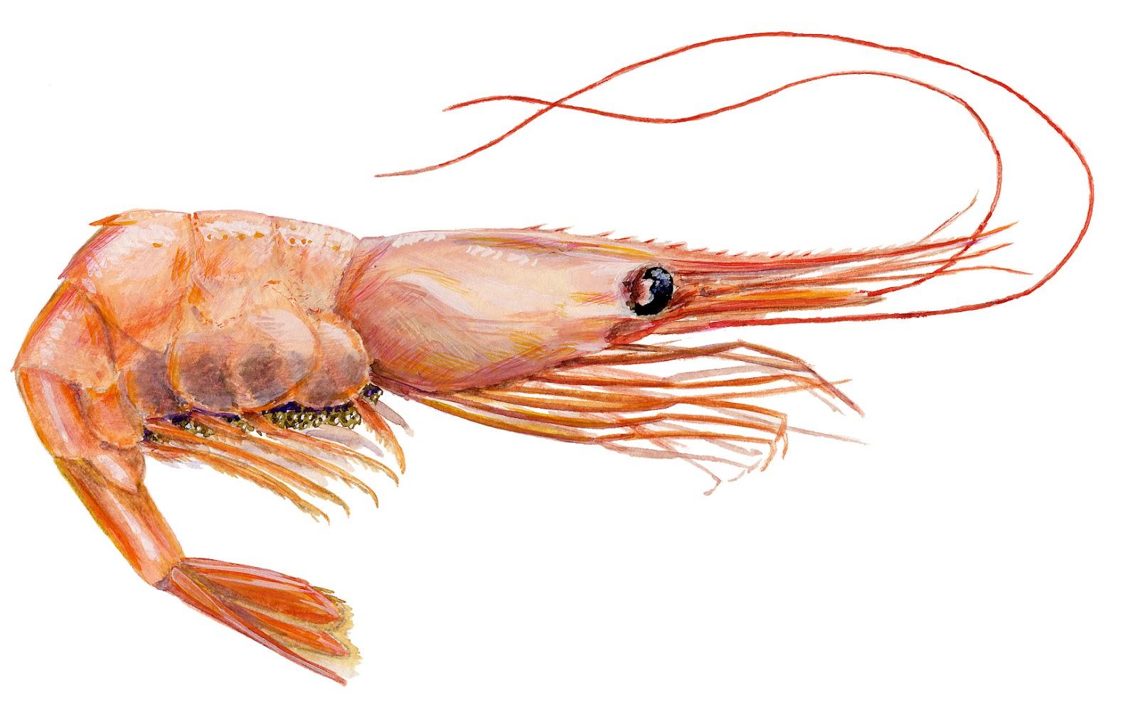 Shrimp - True Wildlife Creatures