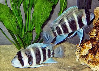 ikan frontosa