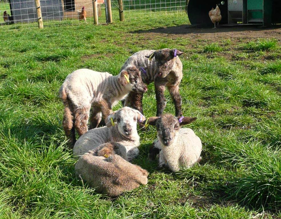 www.smallholderjournal.blogspot.com Lambs enjoying the April sunshine