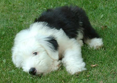 Old English Sheepdog Puppies