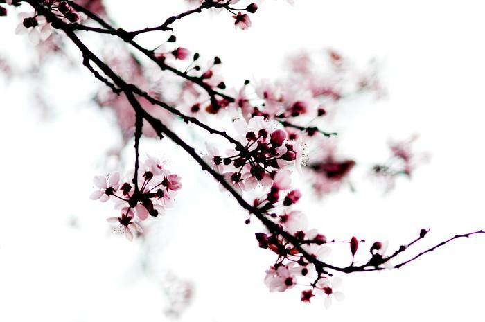 Mavis Fitzpatrick: cherry blossom flower wallpaper