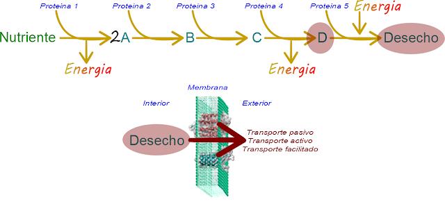 Ciencias de Joseleg: Excreción de residuos nitrógenados..
