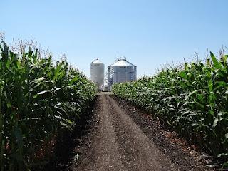 corn-hybrids