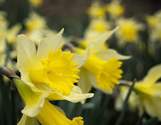 Close up of a group of daffodils with deep yellow trumpets