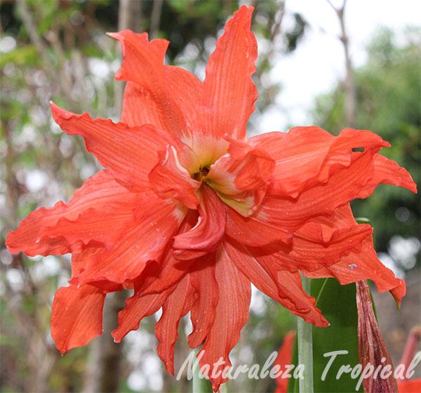 Variedad moñuda de la flor del Lirio Naranja, Hippeastrum puniceum