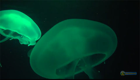 Aqua marine illuminated jelly fish against a inky black sea. YouTube video by Herbert Huber adapted for accessibility switch use.