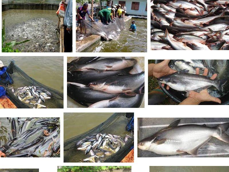 Mengenal Ikan Patin
