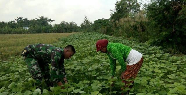 Babinsa Pelda Beny S. Daulay Bantu Petani Bersihkan Rumut di Lahan Kacang Hijau