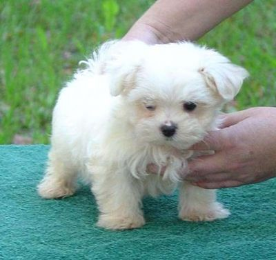 free maltese puppies cute puppy dogs teacup maltese puppies 2727