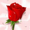 Crvena ruža download besplatne pozadine slike za mobitele