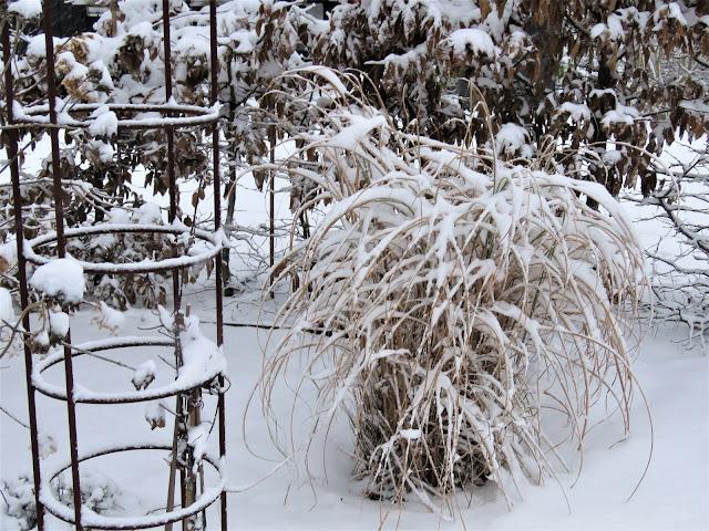 Miscanthus med snø