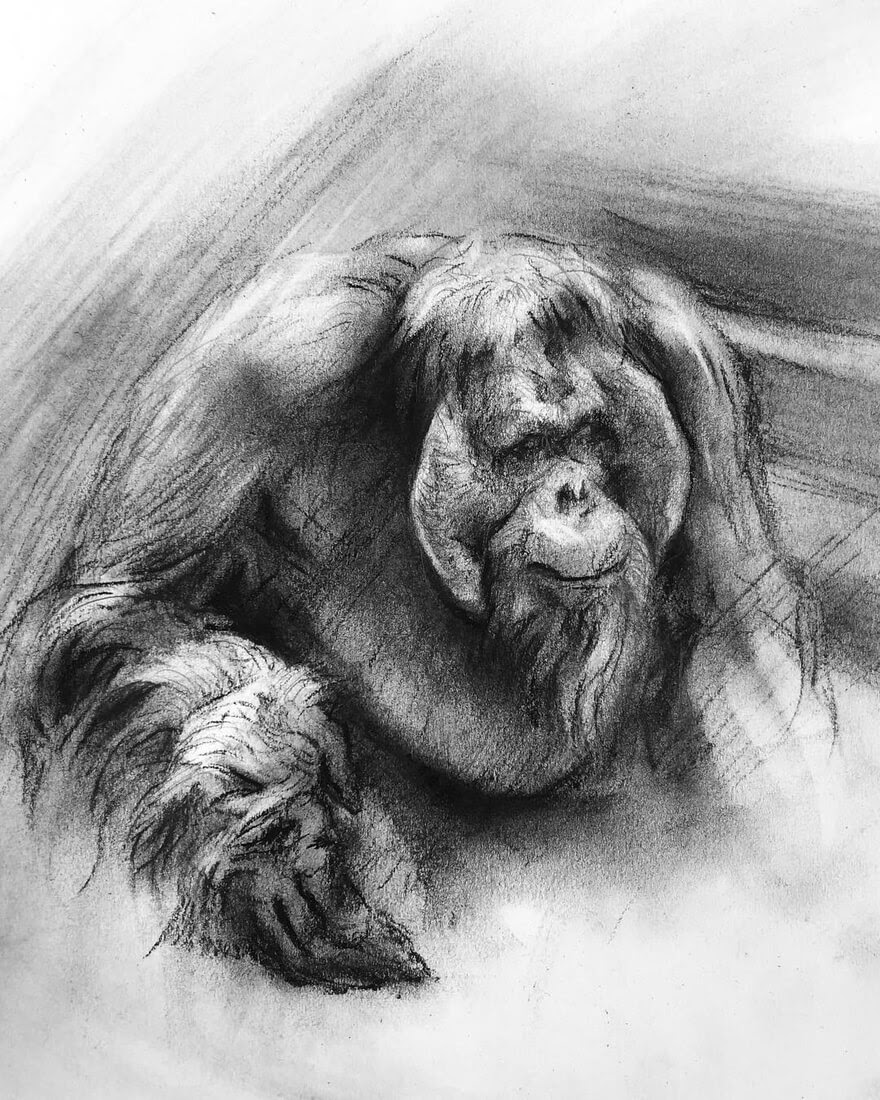 11-Orangutan-Study-in-charcoal-Matthew-McHugh-Animal-Drawings-and-Surreal-Interpretations-www-designstack-co