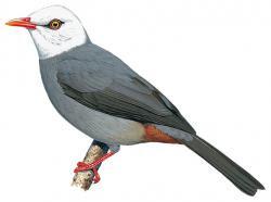 Cerasophila thompsoni