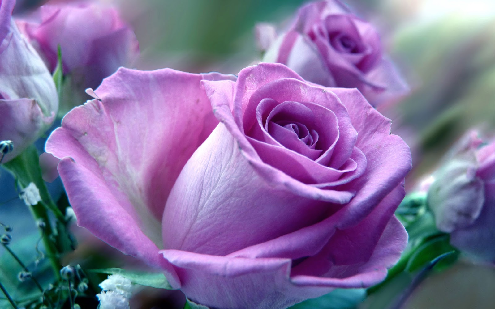 Beautiful Roses HD Desktop Wallpapers in 1080p ~ Super HD Wallpaperss