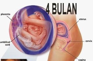 Gambar perkembangan janin usia 4 bulan