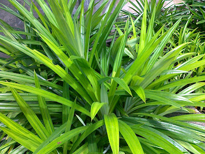 Picture Pandan Leaves for Cooking