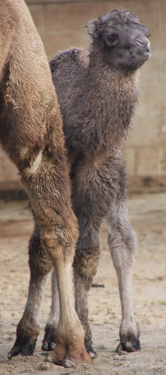 Baby Animals: Camel - Calf 28