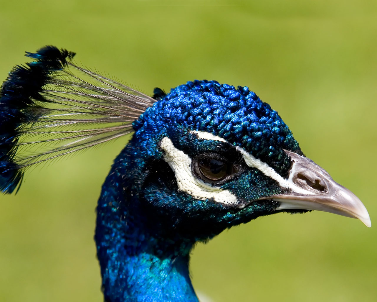Desktop Nature wallpaper: Indian Blue Peacock Free ... - photo#10