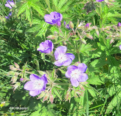 geraniums, also called cranesbills, genus Geranium