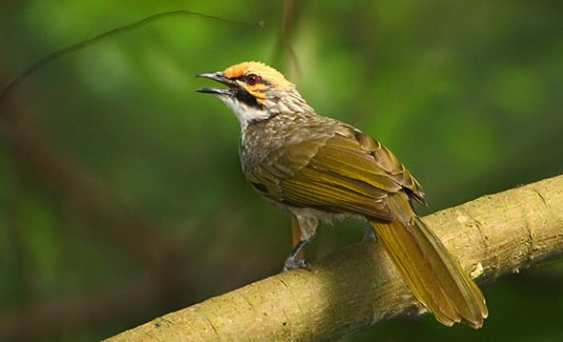 Download Suara Burung Cucak Rawa Ropel Mp3