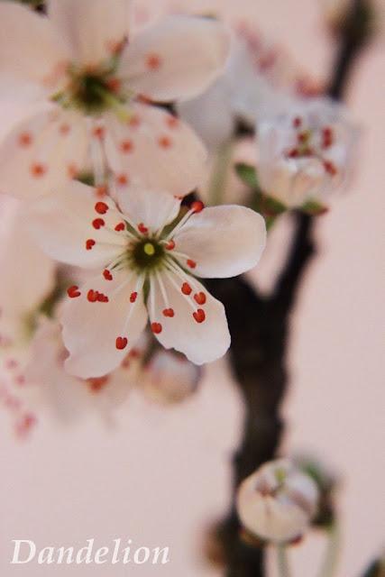 http://dandelion01.blogspot.de/2014/03/cherryblossom.html