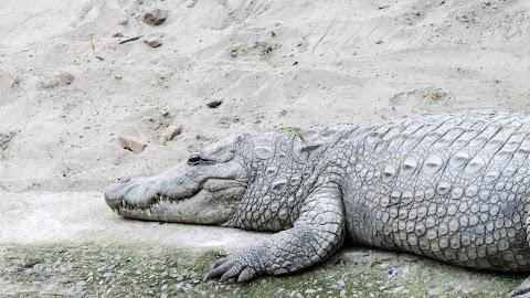 CROCODILE PHOTOGRAPHY BY GAURAV SINGH   GRV CREATIVE BY CREATION