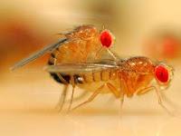 Perbedaan Lalat Jantan dan Lalat Betina