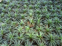 tanaman hias kucai mini