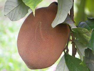 cupuacu fruit images