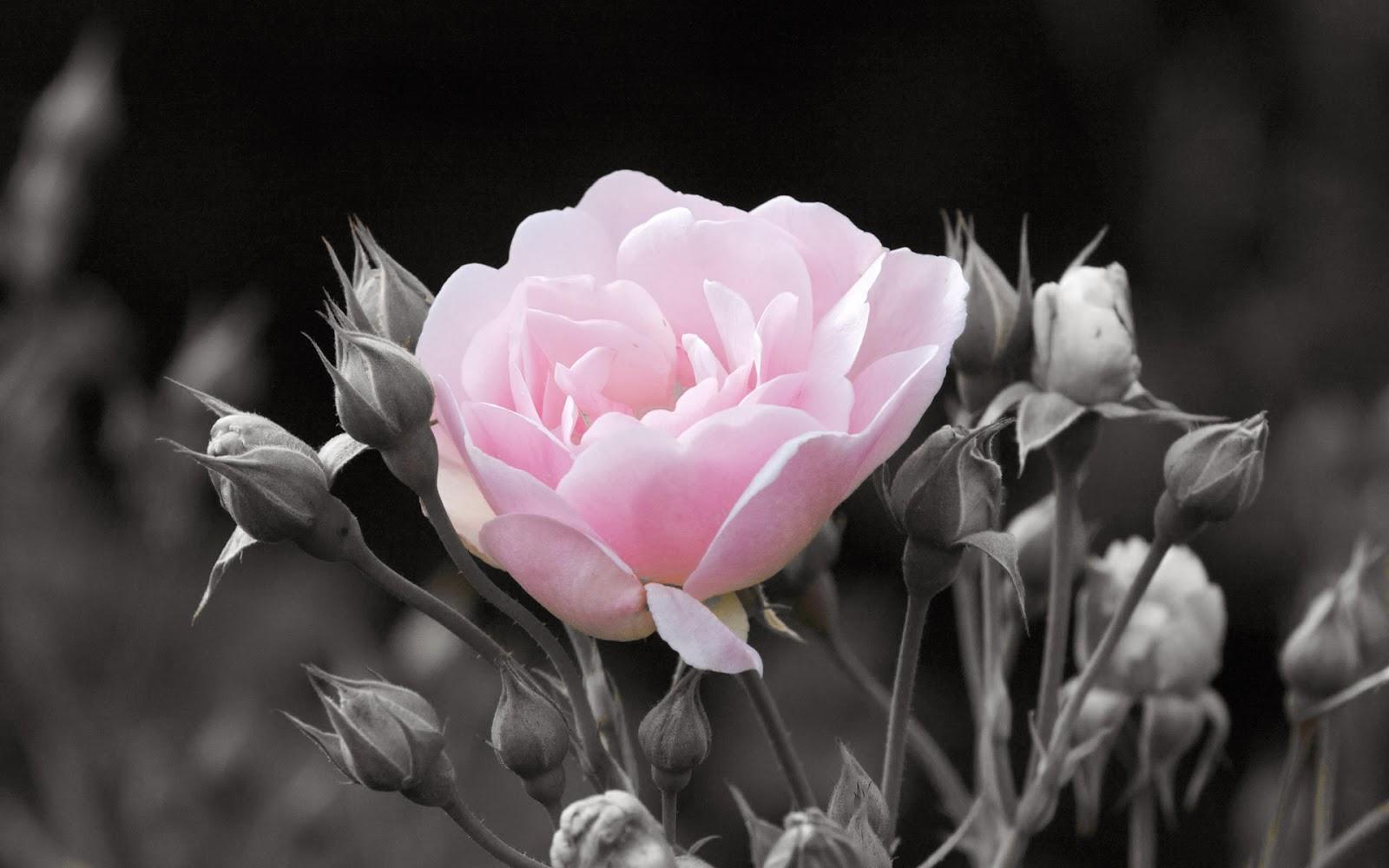 Menciptakan Color Splash atau selektive Color dengan Photoshop ~ Sidimageenation
