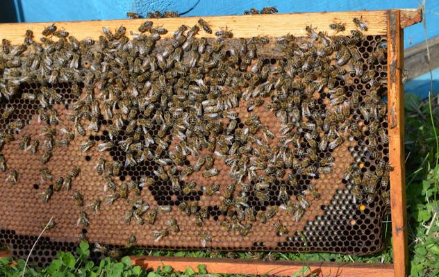Μέθοδος ταχείας ανάπτυξης μελισσιών