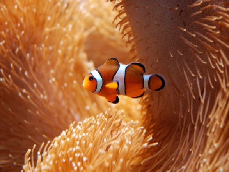Gambar ikan nemo asli