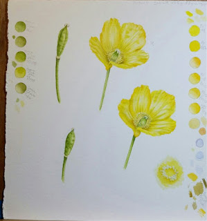 Yellows and Buds - Welsh Poppy©2018 Polly o'Leary