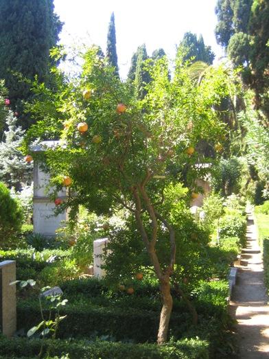 Granaattiomenapuu