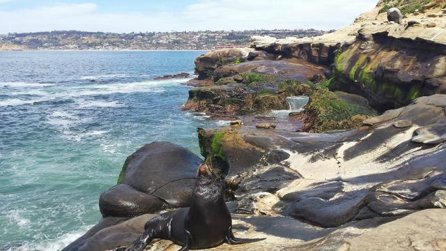 Large sea lion at La Jolla Cove