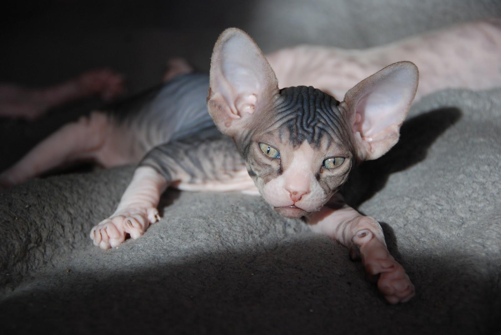 Sphynx kitten review