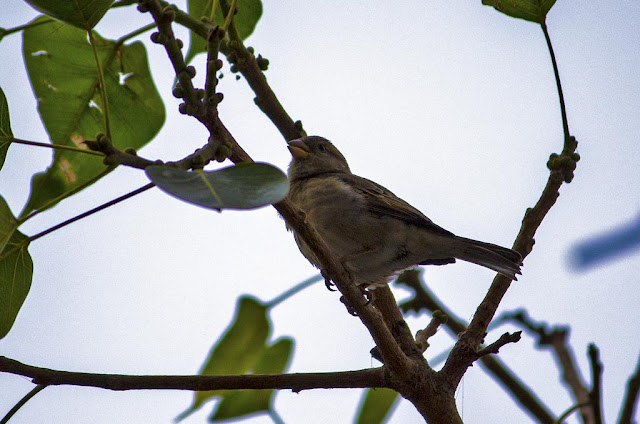 house sparrow, bird, peepal tree, bandra east, mumbai, india,