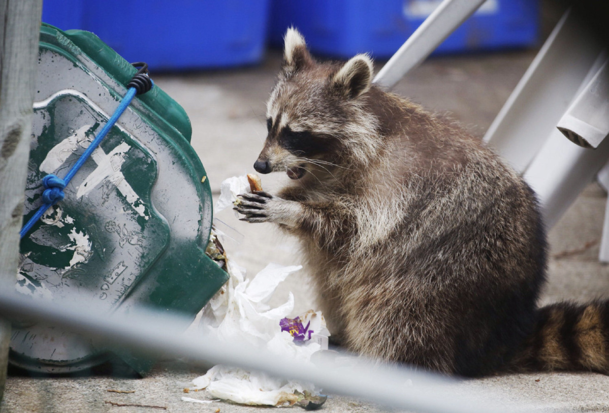 my search for a home raccoon removal service for homes