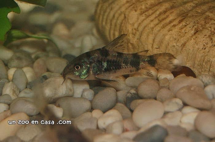 Corydoras paleatus buscando alimento en el fondo del acuario