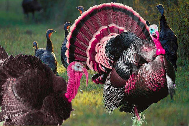 The history of turkey chicken and the easy way of celebrating turkey birds at home.