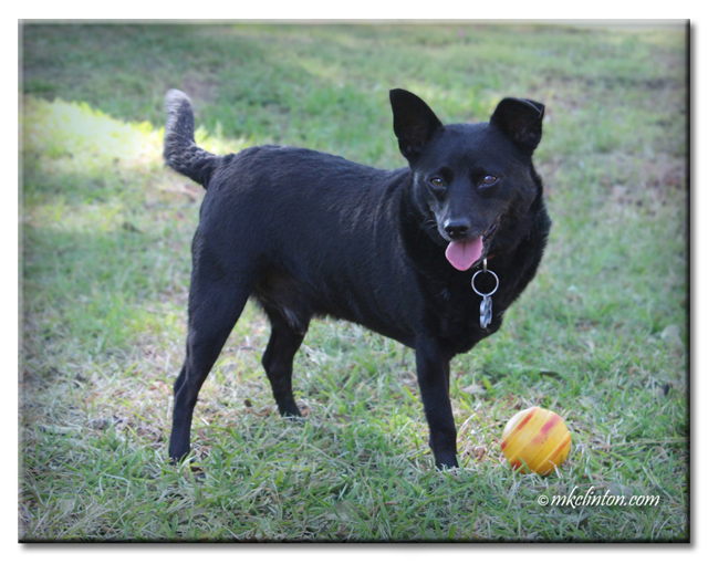 Black three-legged dog with orange ball